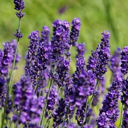 Lavender's masculine qualities are tied to its association with kingship,  as the rarity of the color lavender in nature means naturally derived dyes  were ...